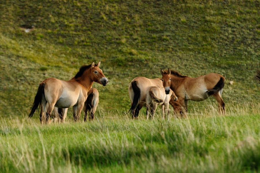 The Return of Przewalski's Horses in Mongolia